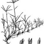 grama y bermuda hibrida